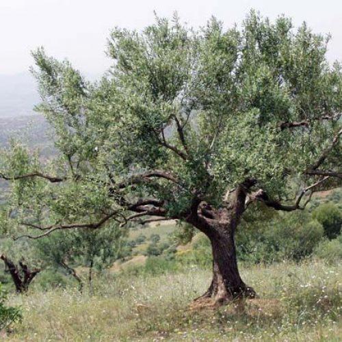 L'olivier d'Afrique du nord, depuis l'antiquité à l'époque contemporaine